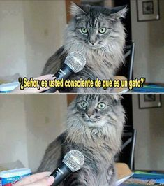 Es usted un gato. #humor #risa #graciosas #chistosas #divertidas