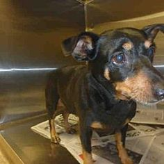 Act quickly to adopt me. Pets at this shelter may be held for only a short time. Van Nuys, California - Miniature Pinscher. Meet CHAPARRA, a for adoption. https://www.adoptapet.com/pet/20752245-van-nuys-california-miniature-pinscher