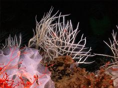 Four new species of carnivorous sponge discovered on the deep sea floor along the west coast of North America prefer scampi to fries, or other vegetables