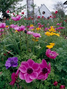 Pink and purple remains a classic cottage garden combination. In this case the delicate hues and dainty blooms of California poppies and anemone supply no-fuss growth and never-fail good looks.