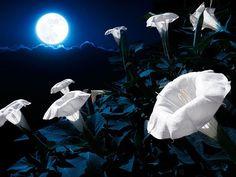 Moon garden - Moonflower (Ipomoea alba)