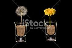 #DandelionClock & #Dandelion #Close-Up In #Glass On #Black #Background @iStock #iStock #spring #season #flowers #flowerpower #concept #macro #details #yellow #seeds #stock #photo #portfolio #download #hires #royaltyfree