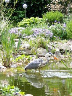 Fischreiher in meinem Gartenteich Heron in my pond