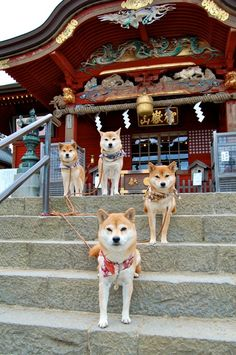 Japanese Shiba Inus, my favorite breed of dog since reading and watching the story of Hachiko.