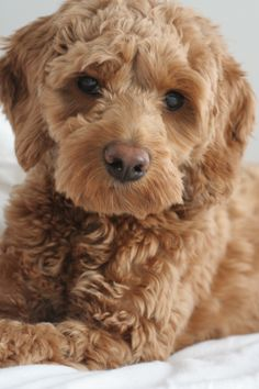 Scout, apricot cockapoo, at seven months old