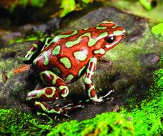 frogs pictures | Golden poison dart frog Dendrobates Auratus, rainforest Panama bronze ...