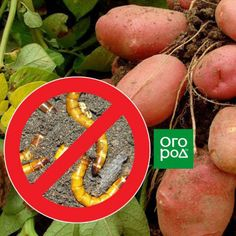 Как избавиться от проволочника на картофеле раз и навсегда Garden, Garten, Lawn And Garden, Outdoor, Tuin, Gardens, Yard