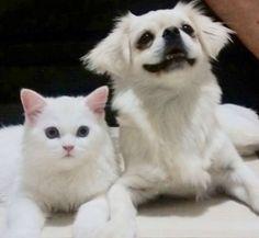 Marie e Princesa, gatinha persa e pequinês, uma amizade linda!! ❤️❤️