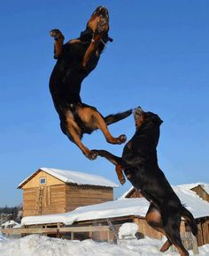 #Rottweilers in motion