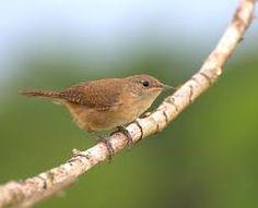 corruíra ou cambaxirrra_Troglodytes musculus_Brazilian Birds