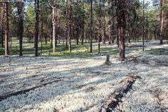 Jäkälää kangasmetsässä - jäkälä poronjäkälä Cladonia rangiferina… Reindeer, Country Roads, Plants, Plant, Planets