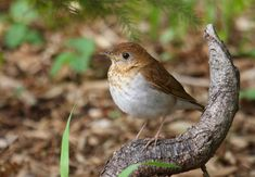 Veery -humiddeciduousforest across S.Canada& N. USA, migratingto E.South America