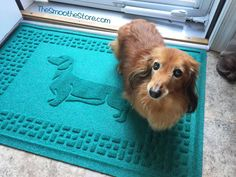 Vibrant blue dachshund doormat with our wiener dog friend Samson Nash posing on it.