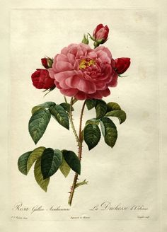 "Pierre-Joseph Redouté ""Les Roses - Rosa Gallica Aurelianensis"" 1819-24 