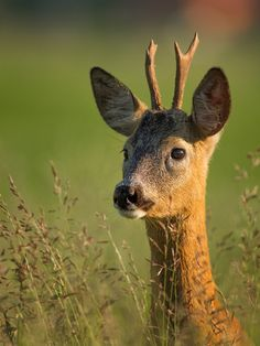 curious by Rasto Rejko on Animals Images, Cute Animals, Wild Animals, Beautiful Creatures, Animals Beautiful, Deer Pictures, Deer Pics, Forest And Wildlife, Roe Deer
