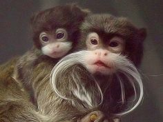 My favorite monkey! An Emperor Tamarin with a baby...you can see the little mustache just beginning to grow... :)