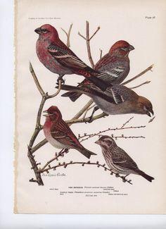 Pine Grosbeak  Purple Finch  Vintage Bird Print