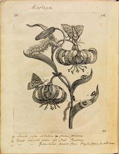 Erucarum Ortus/The Miraculous Transformation and Unusual Flower-Food of Caterpllars: Maria Sibylla Merian, 1717.