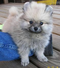 Pom pup looks like my lil guy! Pomsky Puppies, Cute Dogs And Puppies, Baby Puppies, Pet Dogs, Puppys, Doggies, Super Cute Animals, Cute Funny Animals, Cute Baby Animals