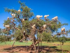Morocco's climbing Goats are real phenomena! They climb the Aragan Trees because they like to eat the fruit - similar to an olive. Farmers follow the herds of goats as they move from tree to tree because the fruit of the tree has a nut inside, which the goats can't digest, so they spit it up or excrete it and the farmers collect them. The nut contains 1-3 kernels - ground to make argan oil used in cooking and cosmetics.