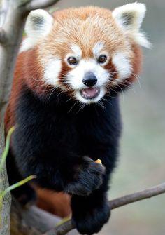 Red Panda, Zoo Vienna