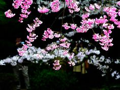 紅しだれ桜とソメイヨシノ 左クリックで平安神宮神苑・紅しだれ桜へ右クリック背景に設定で壁紙へ