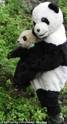 There's something  not quite right about that panda! Zoo workers wear special outfits to help train babies for a life in the wild.. Welp I've found my new occupation; fake panda