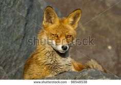 Female Fox Stock Photos, Images, & Pictures | Shutterstock