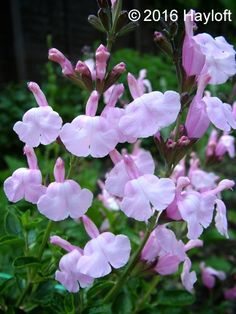 Buy Salvia jamensis Peter Vidgeon Online | Hayloft Plants