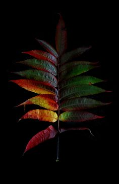 Taken by mary jo hoffman Galaxy Phone Wallpaper, Solid Black Background, Leaf Photography, Nature Collection, Scene Photo, Botanical Prints, Dark Colors, Black Backgrounds, Color Combos
