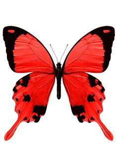 Red Butterfly More
