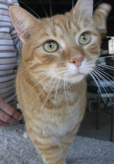 Meet Crush, a Petfinder adoptable Domestic Short Hair Cat | Albemarle, NC | Please contact LeeAnn Helms (leehlms322@gmail.com) for more information about this pet.CRUSH was...