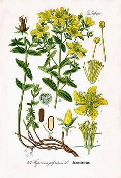 Millepertuis (Hypericum perforatum)| Remèdes de Grand-Mère