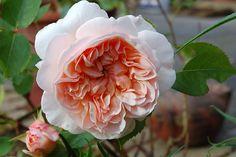 "David Austin rose ""Evelyn"" - beautiful & smells like sweet tea!"