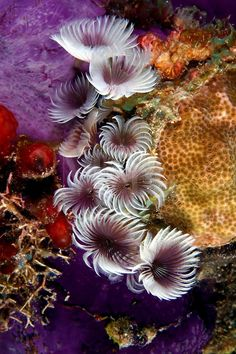 Because they reproduce asexually social feather duster worms [Bispira brunnea] are usually found as pictured here in clusters. Underwater Creatures, Underwater Life, Ocean Creatures, Fauna Marina, Beautiful Sea Creatures, Life Under The Sea, Beneath The Sea, Sea Anemone, Salt Water Fish