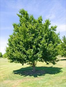Tatarian Maple less prone to iron chlorosis. Zn tall slightly less hardy than Amur yellow-org fall early May/Jun white flower. Samaras turn red in August. PH soil less than full sun. Patio Trees, Deciduous Trees, White Flowers, Jun, Landscapes, Backyard, Yellow, Fall, Paisajes