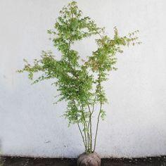 イロハモミジ 株立ち 樹高1.5〜1.8m前後 (根鉢含まず) :soma715:相馬グリーン - 通販 - Yahoo!ショッピング Herbs, Plants, Products, Herb, Plant, Gadget, Planets, Medicinal Plants