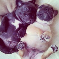 Frenchie puppies...so cute!