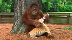 This Caring Male Orangutan Has Adopted Three Tiger Cubs As His Own And It's So Sweet.