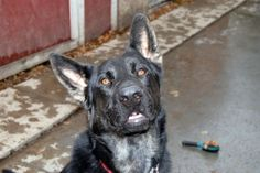 Shelter Dog Saves a Life and Waits for Forever Home in Prince Albert, Sask. Canada SPCA. See next pin for more on this boy called Solomon.