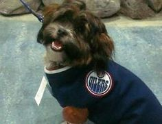 JAKE IS AN OILER FAN! - Heather Rees Bourbeau Edmonton Oilers, Labrador, Fan, Pets, Canada, Animals, Happy, Clothes, Outfits