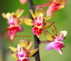 Miniature Orchid Cleisostoma capricorne