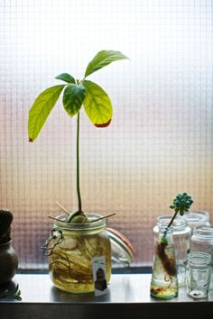Trying to grow plants from avocado pits. via melissa simon and gustaf