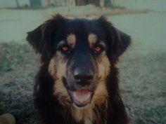 Friend's beautiful Bernese Mountain Dog Terrier mix