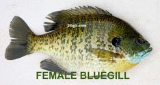 Female bluegill