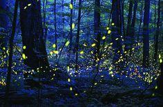 Bosque Nacional de Allegheny | TECTÓNICAblog  El Bosque Nacional de Allegheny se encuentra dentro del Parque Nacional de Great Smoky Mountains un lugar singular no sólo por su riqueza natural sino por albergar dentro de sí especies animales y vegetales poco comunes. Una de estas especies es la Photinus Carolinus un tipo de luciérnaga de las 19 que se pueden encontrar en el parque. Durante la noche la iluminación de estos insectos se sincroniza de forma que se produce un efecto espacial…