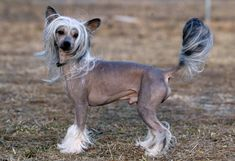 A fine-boned, elegant toy dog that craves human companionship, the Crested comes in two varieties. The Hairless has soft, silky hair on its head (crest), tail (plume) and feet (socks). Wherever the body is hairless the skin is soft and smooth. The Powderpuff is entirely covered with a double soft, straight coat. The two types often come from the same litter. Any color or combination of colors is allowed.