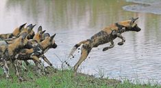 Wild Dogs trying to cross the Olifants River on the near Olifants Camp Kruger National Park, National Parks, African Wild Dog, Apex Predator, Wild Dogs, Leopards, Hunting Dogs, Dog Walking, Wildlife Photography