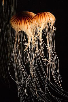 Northern Sea Nettle, another amazing jelly from Monterey Bay Aquarium.