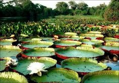 the avant-guardian: Queen Victoria Water Lily